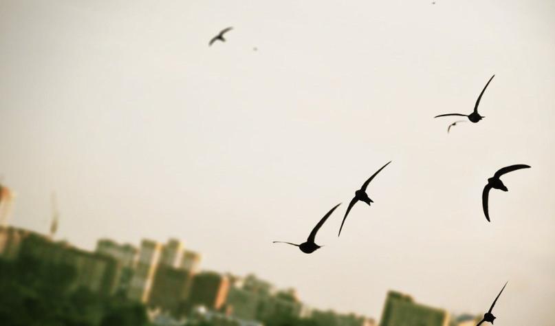 Почему ласточки летают низко перед дождем